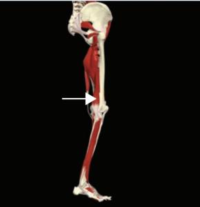 biceps femoris kısa bas